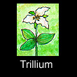 miniature painting of trillium (SOLD)