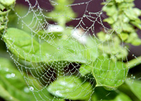 photograph of spider web with dew
