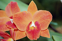 photograph of tropical orchid